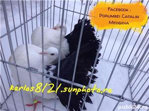 Porumbei voltati albi coada neagra  - imagine 2