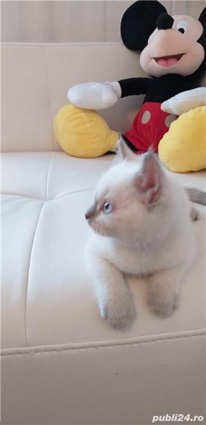 British shorthair albi cu ochi albaștrii. Rasă pură. Dețin carnet de sănătate - imagine 3