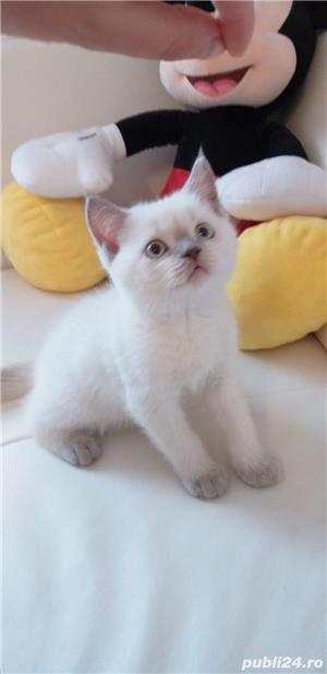 British shorthair albi cu ochi albaștrii. Rasă pură. Dețin carnet de sănătate - imagine 2