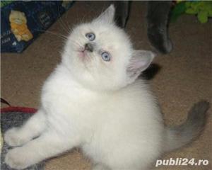 British shorthair albi cu ochi albaștrii. Rasă pură. Dețin carnet de sănătate - imagine 4