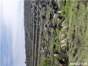 Vand 300 capre - imagine 2