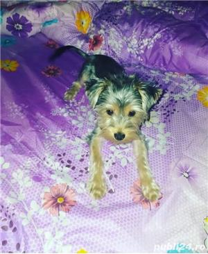 Vand catelusa Yorkshire terrier - imagine 2