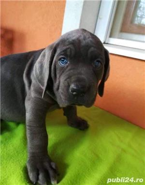Pui de cane corso pe albastru gri blue !! - imagine 2