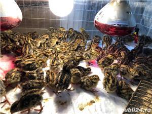 CADOU DE SFINTELE PASTE! Avem de vanzare puisori de prepelita  - imagine 8