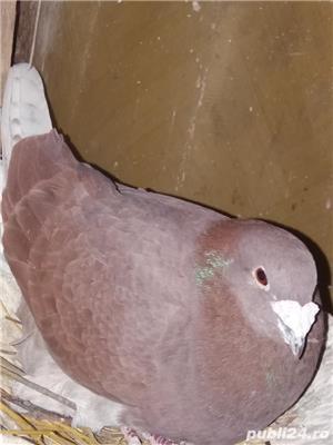 Porumbei voiajori  - imagine 1