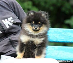 pomeranian mini black and tan - imagine 1