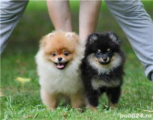 pomeranian mini black and tan - imagine 4
