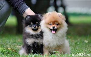 pomeranian mini black and tan - imagine 3