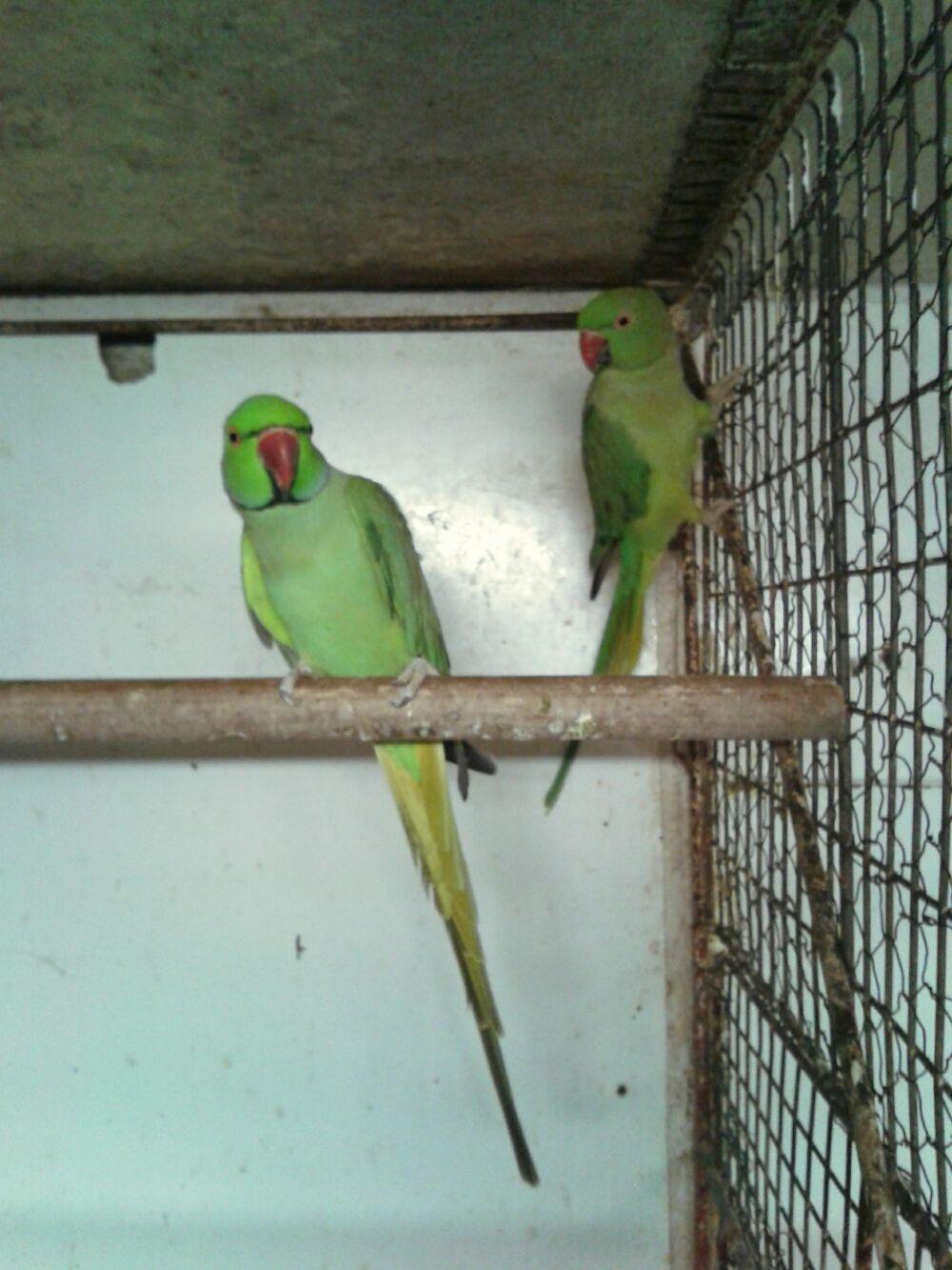 Vand papagali - imagine 2