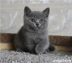 British shorthair blu - imagine 2