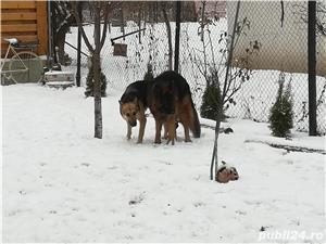 Ciobanesc german , superbi și jucăuși ultimii 3 din 9 - imagine 8