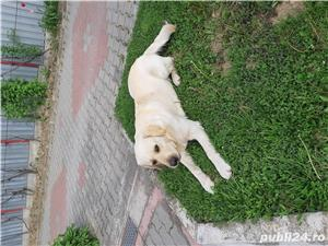 Labrador golden retriever - imagine 1