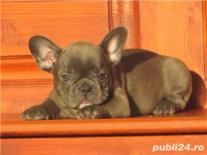 Pui de bulldog buldog francez blue gri albastru - imagine 2