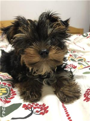 Yorkshire Terrier Toy - imagine 4
