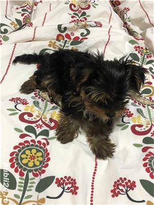 Yorkshire Terrier Toy - imagine 3