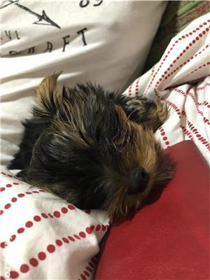 Yorkshire Terrier Toy - imagine 1