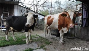 Vând 2 vaci x 4200 lei negociabil, în Sâmbăta de Sus, jud. Braşov. Viorica - imagine 1