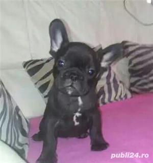 Bulldog francez de vanzare| rasa pura| vaccinati - imagine 4
