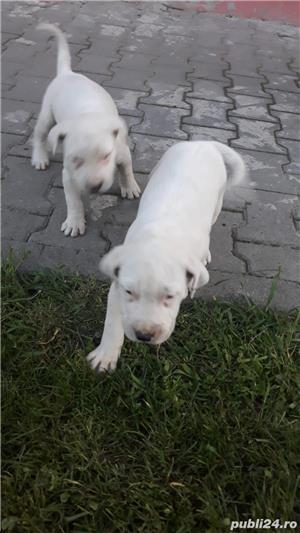 Dog Argentinian - imagine 2