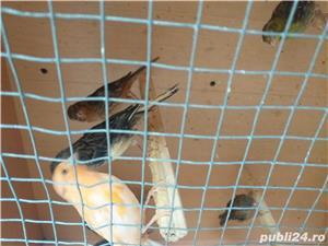 Vând pui canari - imagine 2