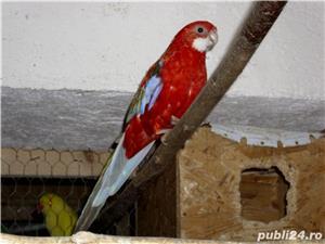 papagalii - imagine 2
