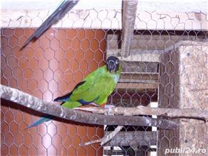 papagalii - imagine 4
