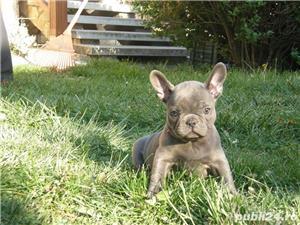 Pui din rasa bulldog buldog francez albastru gri blue - imagine 2