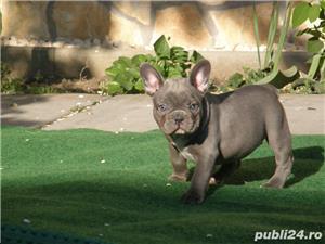 Pui din rasa bulldog buldog francez albastru gri blue - imagine 3
