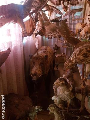 Vand colectie de animale impaiate - imagine 3
