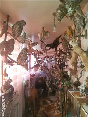 Vand colectie de animale impaiate - imagine 4