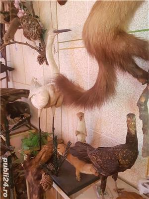 Vand colectie de animale impaiate - imagine 2