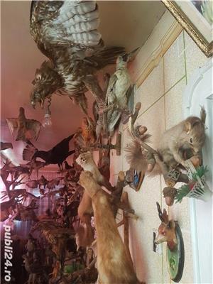 Vand colectie de animale impaiate - imagine 6