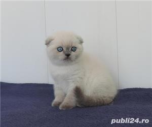 Scottish Fold - imagine 2