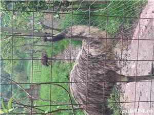 EMU păsări pereche - imagine 2