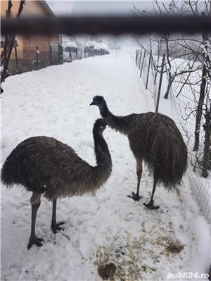 EMU păsări pereche - imagine 4