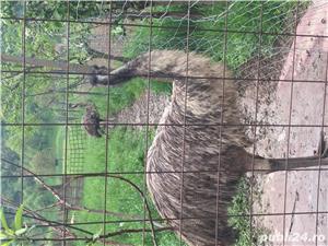 EMU păsări pereche - imagine 1