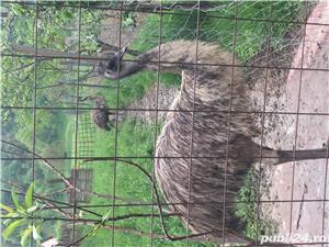 EMU păsări pereche - imagine 14