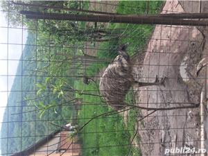 EMU păsări pereche - imagine 7