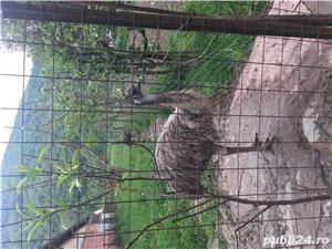 EMU păsări pereche - imagine 8