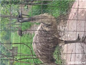 EMU păsări pereche - imagine 16