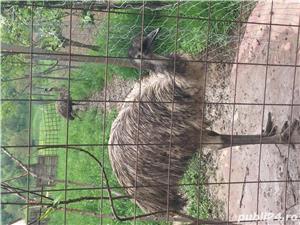 EMU păsări pereche - imagine 15