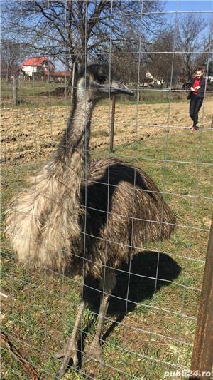 EMU păsări pereche - imagine 17