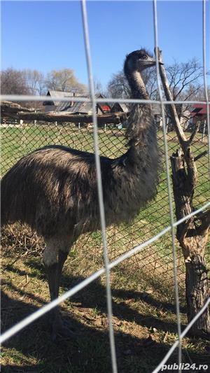 EMU păsări pereche - imagine 22