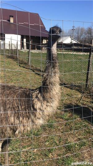 EMU păsări pereche - imagine 18