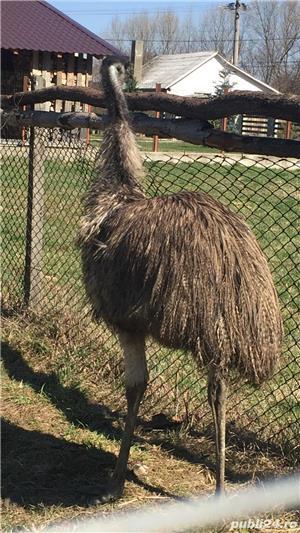 EMU păsări pereche - imagine 21