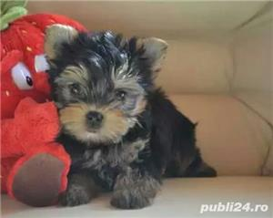 Vand pui rasa Yorkshire terrier toy - imagine 2
