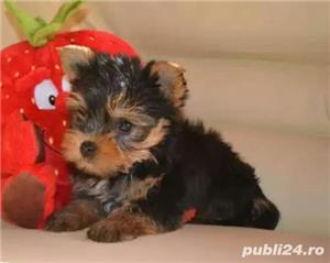 Vand pui rasa Yorkshire terrier toy - imagine 1