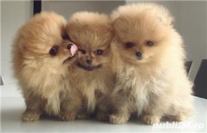 Pomeranian de vanzare| Rasa pura| Livrare in tara - imagine 2