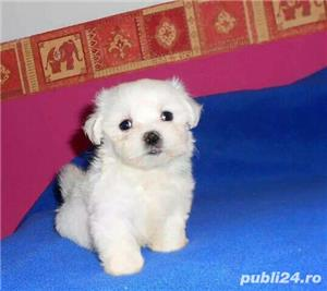 Bichon Maltez toy| rasa pura| vaccinati - imagine 2