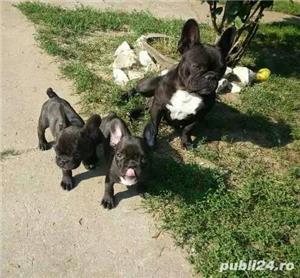 Bulldog francez de vanzare| rasa pura| vaccinati - imagine 2